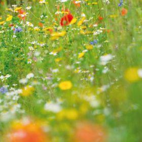 Wild Flower Seed